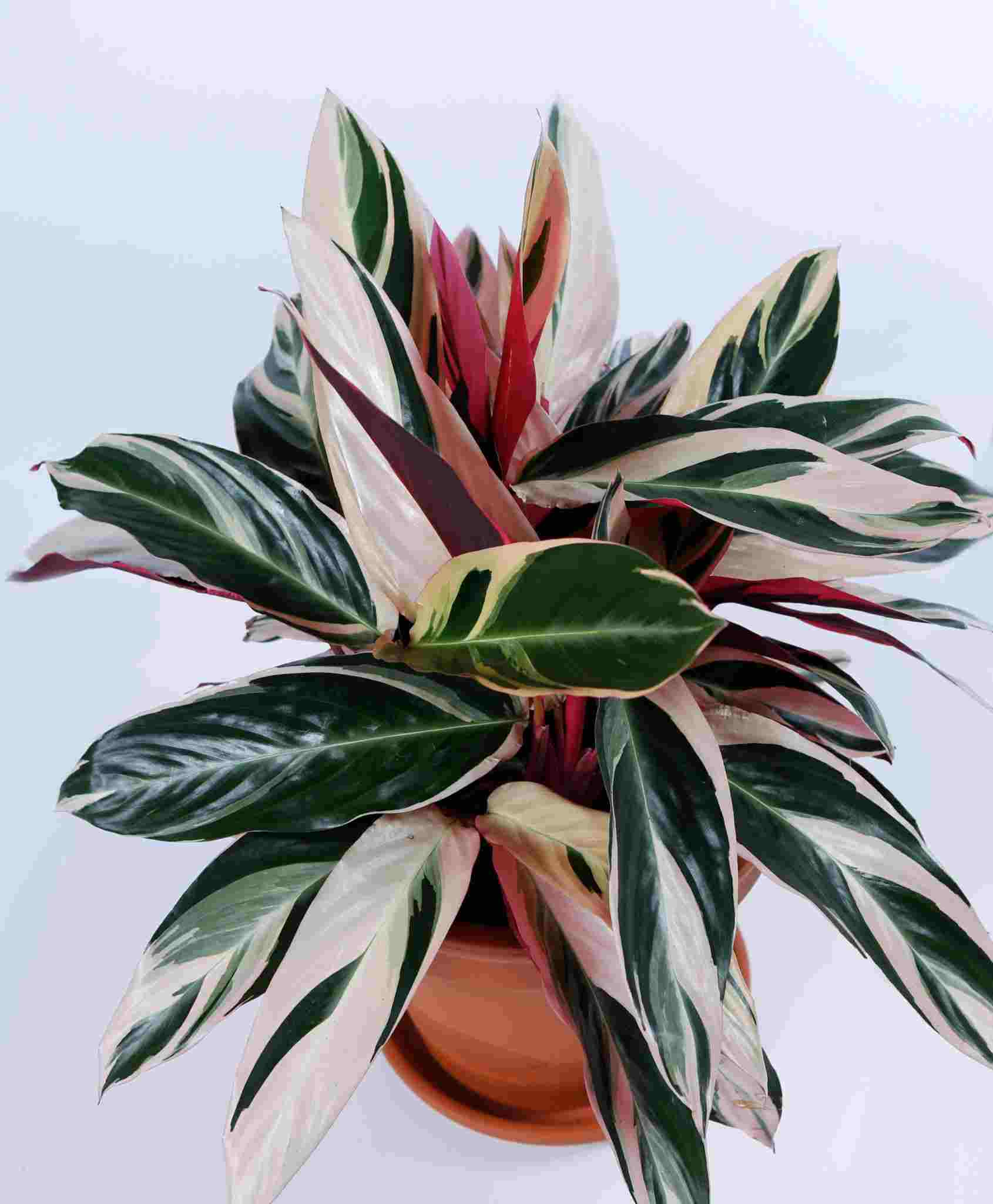 Stromanthe-Triostar-indoor-house-plant