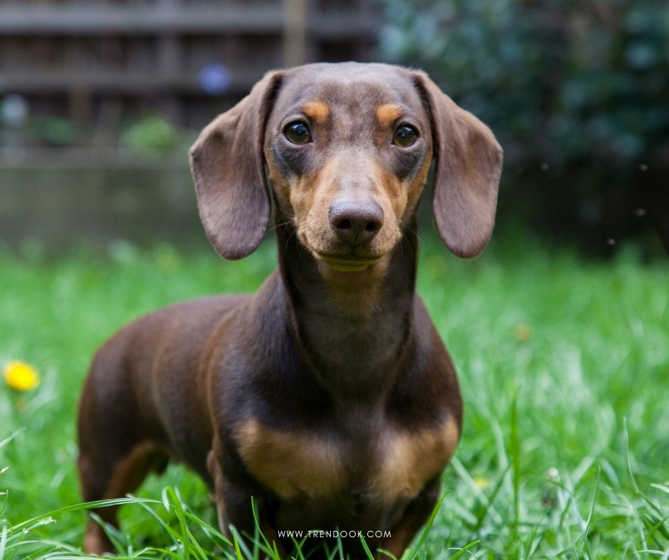 Best Dog Breeds in India (Dachshund)
